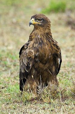 Tawny Eagle (Aquila rapax), Ndutu, Serengeti National Park, Tanzania  -  Andre Gilden/ NIS