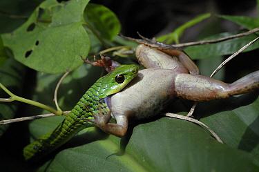Green Night Adder (Causus resimus) swallowing frog prey, Arusha, Tanzania  -  Andre Gilden/ NIS