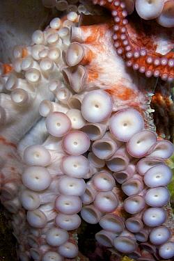 Pacific Giant Octopus (Octopus dofleini) suckers, British Columbia, Canada  -  Oliver Lucanus/ NiS