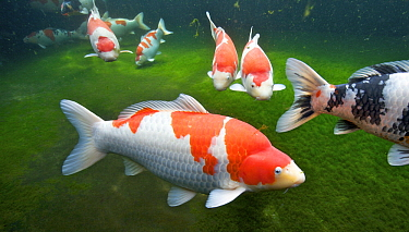 European Carp (Cyprinus carpio) group showing variation, Kohaku Koi, Nigata, Japan  -  Oliver Lucanus/ NiS