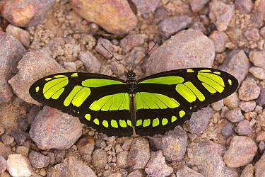 Malachite (Siproeta stelenes) butterfly, Rio Juruena, Mato Grosso, Brazil, South America  -  Oliver Lucanus/ NiS