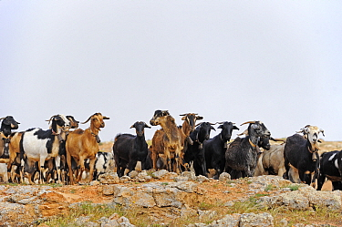 Domestic Goat (Capra hircus) herd, El Jable, Lanzarote, Canary Islands, Spain  -  Winfried Wisniewski