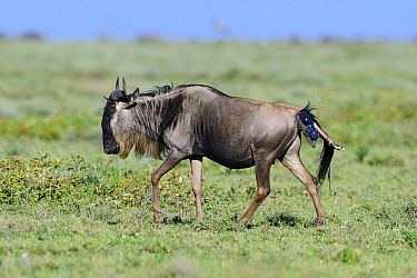 Blue Wildebeest (Connochaetes taurinus) giving birth to a calf, Serengeti National Park, Tanzania. Sequence 1 of 7  -  Winfried Wisniewski