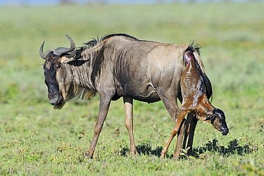 Blue Wildebeest (Connochaetes taurinus) giving birth to a calf, Serengeti National Park, Tanzania. Sequence 2 of 7  -  Winfried Wisniewski