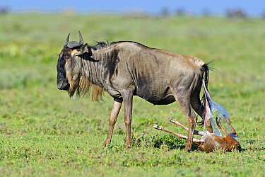 Blue Wildebeest (Connochaetes taurinus) giving birth to a calf, Serengeti National Park, Tanzania. Sequence 3 of 7  -  Winfried Wisniewski