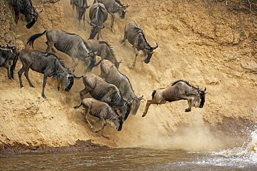 Blue Wildebeest (Connochaetes taurinus) herd crossing the river during annual migration, Masai Mara National Reserve, Rift Valley Province, Kenya  -  Winfried Wisniewski