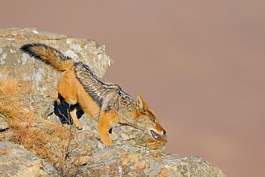 Black-backed Jackal (Canis mesomelas), Giant's Castle Nature Reserve, Drakensberg, South Africa  -  Winfried Wisniewski