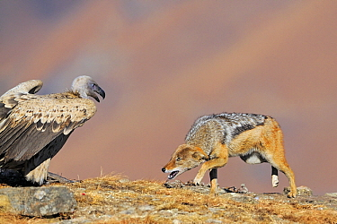 Black-backed Jackal (Canis mesomelas) confronting a Cape Vulture (Gyps coprotheres), Giant's Castle Nature Reserve, Drakensberg, South Africa  -  Winfried Wisniewski