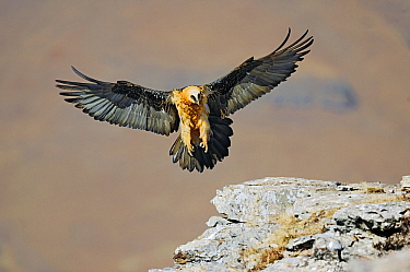 Bearded Vulture (Gypaetus barbatus) landing on a rock, Giant's Castle Nature Reserve, Drakensberg, South Africa  -  Winfried Wisniewski