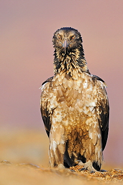Bearded Vulture (Gypaetus barbatus), Giant's Castle Nature Reserve, Drakensberg, South Africa  -  Winfried Wisniewski
