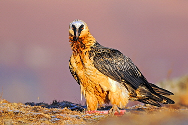 Bearded Vulture (Gypaetus barbatus) on the ground, Giant's Castle Nature Reserve, Drakensberg, South Africa  -  Winfried Wisniewski