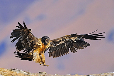 Bearded Vulture (Gypaetus barbatus) landing, Giant's Castle Nature Reserve, Drakensberg, South Africa  -  Winfried Wisniewski