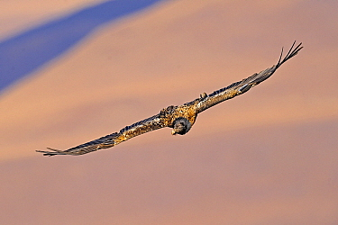 Bearded Vulture (Gypaetus barbatus) soaring, Giant's Castle Nature Reserve, Drakensberg, South Africa  -  Winfried Wisniewski