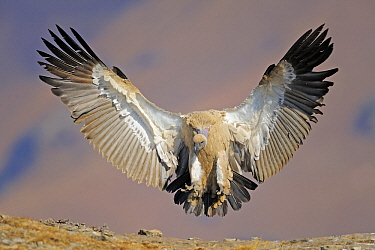 Cape Vulture (Gyps coprotheres) landing, Giant's Castle Nature Reserve, Drakensberg, South Africa  -  Winfried Wisniewski
