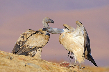 Cape Vulture (Gyps coprotheres) pair, Giant's Castle Nature Reserve, Drakensberg, South Africa  -  Winfried Wisniewski
