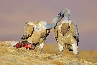 Cape Vulture (Gyps coprotheres) interacting near carcass, Giant's Castle Nature Reserve, Drakensberg, South Africa  -  Winfried Wisniewski