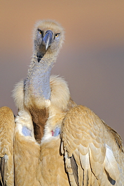Cape Vulture (Gyps coprotheres) portrait, Giant's Castle Nature Reserve, Drakensberg, South Africa  -  Winfried Wisniewski