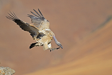 Cape Vulture (Gyps coprotheres) flying, Giant's Castle Nature Reserve, Drakensberg, South Africa  -  Winfried Wisniewski