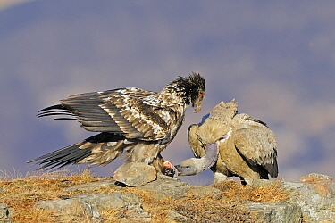 Cape Vulture (Gyps coprotheres) foraging at carcass with Bearded Vulture (Gypaetus barbatus), Giant's Castle Nature Reserve, Drakensberg, South Africa  -  Winfried Wisniewski