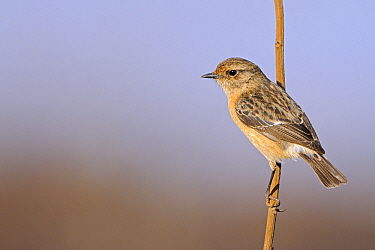 Common Stonechat (Saxicola torquata) female, Chobe National Park, Botswana  -  Winfried Wisniewski