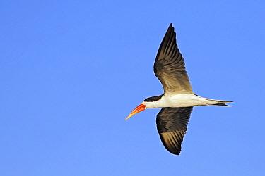 African Skimmer (Rynchops flavirostris) flying, Chobe National Park, Botswana  -  Winfried Wisniewski