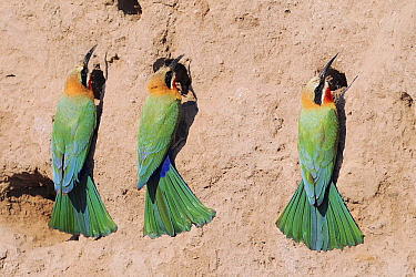 White-fronted Bee-eater (Merops bullockoides) trio at nest entrances, Chobe National Park, Botswana  -  Winfried Wisniewski