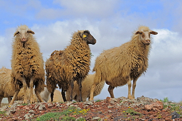 Domestic Sheep (Ovis aries) in semi-desert, El Jable, Lanzarote, Canary Islands, Spain  -  Winfried Wisniewski