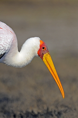 Yellow-billed Stork (Mycteria ibis), Chobe National Park, Botswana  -  Winfried Wisniewski