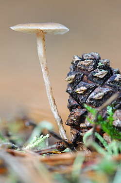 Douglas Fir Mushroom (Baeospora myosura) growing on a pine cone, Netherlands  -  Danny Laps/ NiS