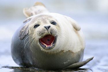 Harbor Seal (Phoca vitulina) calling, Zeeland, Netherlands  -  Danny Laps/ NiS
