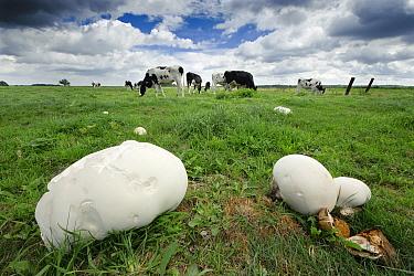 Giant Puffball (Calvatia gigantea) mushrooms in a meadow with cows, Turnhouts Vennengebied, Antwerp, Flanders, Belgium  -  Danny Laps/ NiS