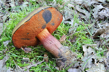 Scarletina Bolete (Boletus luridiformis) mushroom when porous underside is touched the red color changes to blue, Netherlands  -  Danny Laps/ NiS