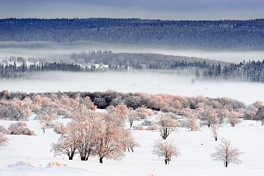 Snowy winter landscape and forest at sunrise, Eifel National Park, Ardennes, Liege, Belgium  -  Danny Laps/ NiS