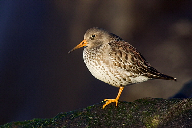 Purple Sandpiper (Calidris maritima) perched on a rock, Hoek van Holland, Zuid-Holland, Netherlands  -  Jasper Doest