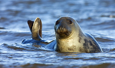 Grey Seal (Halichoerus grypus) in shallow water, Donna Nook, Lincolnshire, United Kingdom  -  Jasper Doest