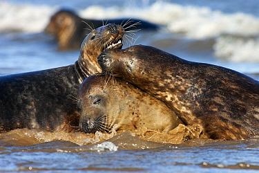 Grey Seal (Halichoerus grypus) trio play fighting, Donna Nook, Lincolnshire, United Kingdom  -  Jasper Doest