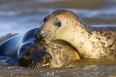 Grey Seal (Halichoerus grypus) couple, Donna Nook, Lincolnshire, United Kingdom  -  Jasper Doest