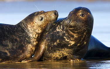 Grey Seal (Halichoerus grypus) pair, Donna Nook, Lincolnshire, United Kingdom  -  Jasper Doest