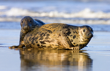 Grey Seal (Halichoerus grypus) pair on beach, Donna Nook, Lincolnshire, United Kingdom  -  Jasper Doest