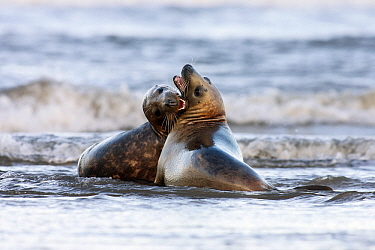 Grey Seal (Halichoerus grypus) playing in the surf, Donna Nook, Lincolnshire, United Kingdom  -  Jasper Doest