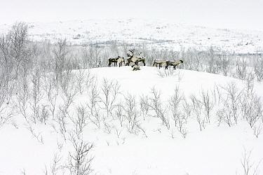 Caribou (Rangifer tarandus) herd in snowy winter landscape, Abisko National Park, Lapland, Sweden  -  Jasper Doest