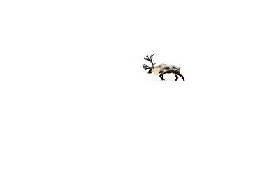 Caribou (Rangifer tarandus) walking through a thick layer of snow, Abisko National Park, Lapland, Sweden  -  Jasper Doest