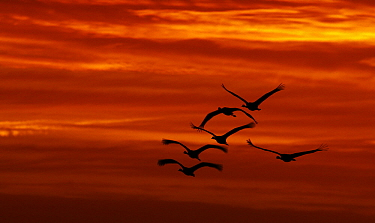 Common Crane (Grus grus) group flying at sunrise, Lake Hornborga, Sweden  -  Jasper Doest