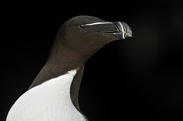 Razorbill (Alca torda), Saltee Islands, Ireland  -  Jasper Doest