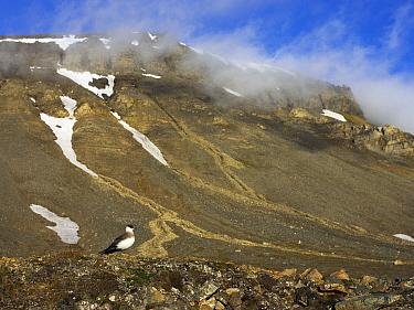 Arctic Skua (Stercorarius parasiticus) in landscape, Svalbard, Norway  -  Jasper Doest