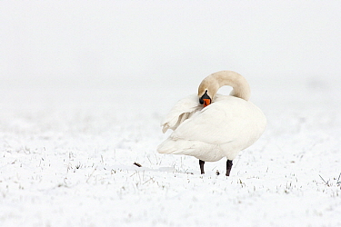 Mute Swan (Cygnus olor) in the snow, Midden-Delfland, Vlaardingen, Zuid-Holland, Netherlands  -  Jasper Doest