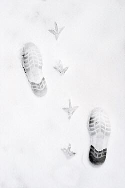 Coot (Fulica atra) paw and foot prints in the snow, Midden-Delfland, Vlaardingen, Zuid-Holland, Netherlands  -  Jasper Doest