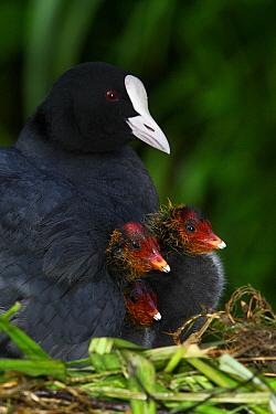 Coot (Fulica atra) parent on nest with chicks, Midden-Delfland, Vlaardingen, Zuid-Holland, Netherlands  -  Jasper Doest