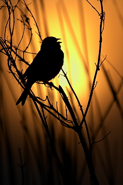 Reed Bunting (Emberiza schoeniclus) silhouette of a reed bunting singing on a branch, Midden-Delfland, Vlaardingen, Zuid-Holland, Netherlands  -  Jasper Doest