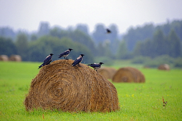 Carrion Crow (Corvus corone) group on haystack, Virumaa, Estonia  -  Sven Zacek/ NiS